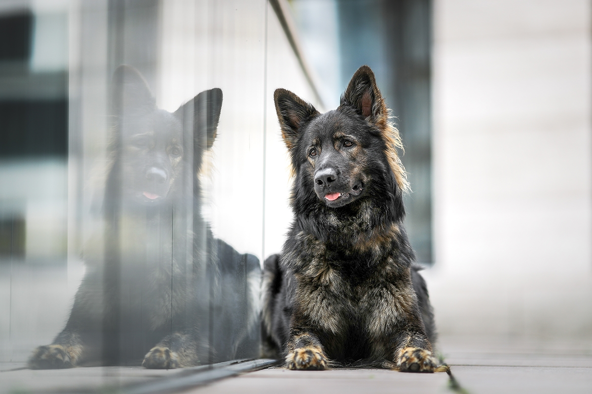 Schäferhund spiegelt sich in einer Glasscheibe in der Stadt