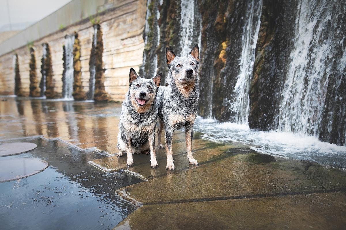 Cattle Dogs sitzen vorvWasserfälle
