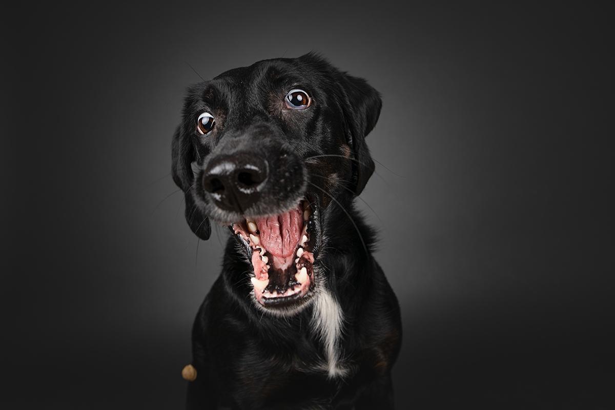 Labrador fängt Leckerlie im Studio vor grauem Hintergrund