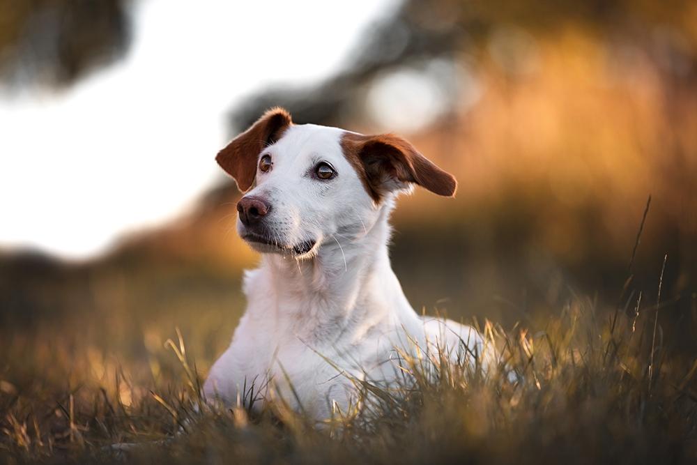 Kleiner Hund liegt im Feld im Herbst