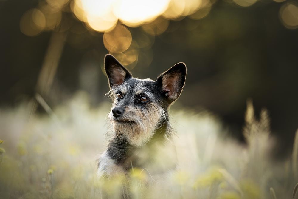 Kleiner Hund sitzt in der Wiese bei Sonnenuntergang