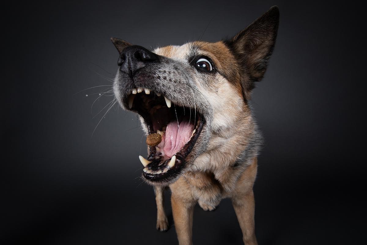 Cattle Dog fängt Leckerlie im Studio vor grauem Hintergrund
