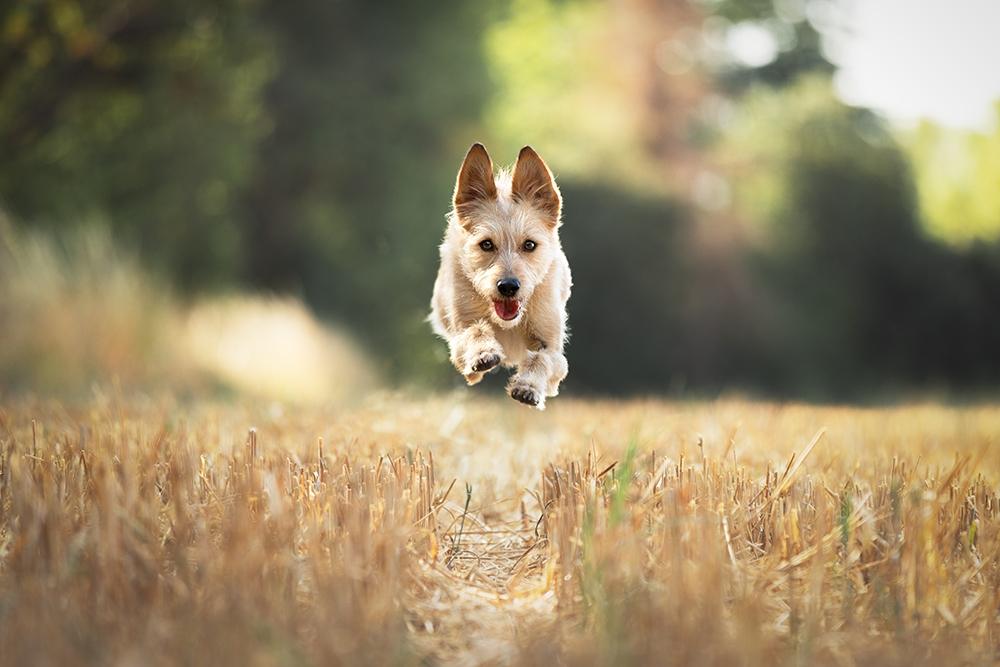 Rennender Hund im Stoppelfeld