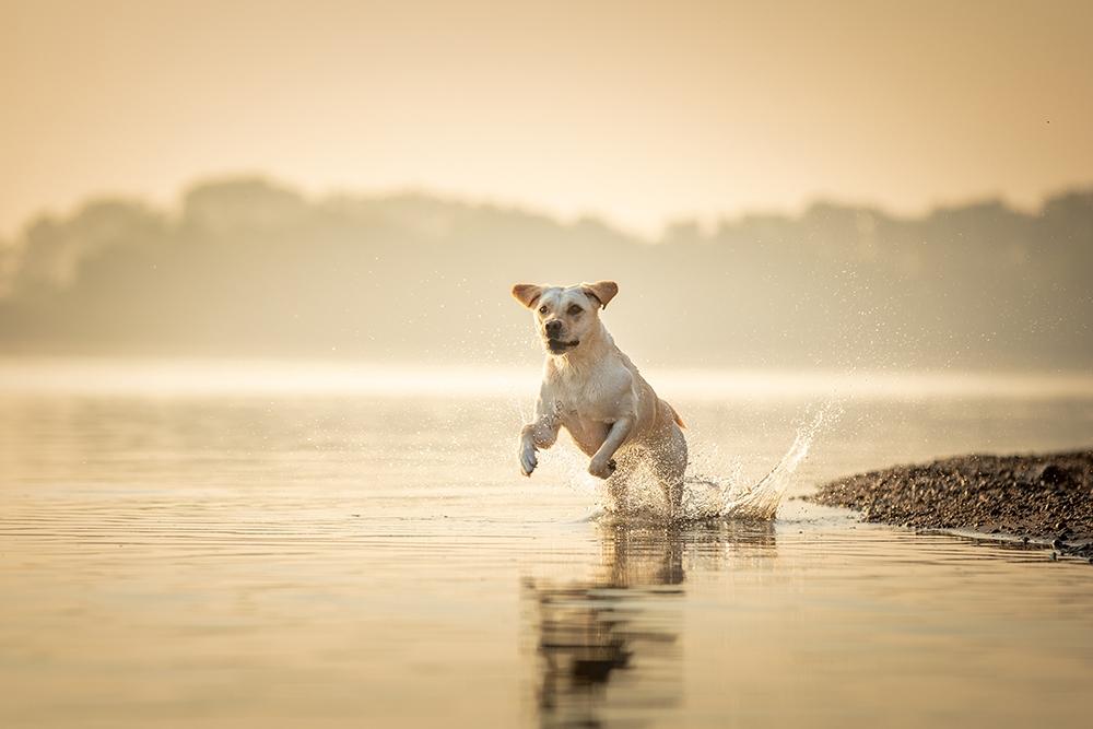 Hund rennt im Wasser bei Sonnenaufgang