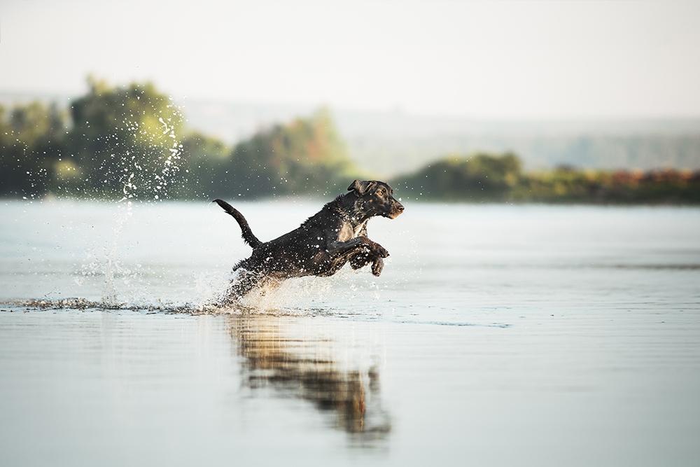 Labrador rennt im Wasser