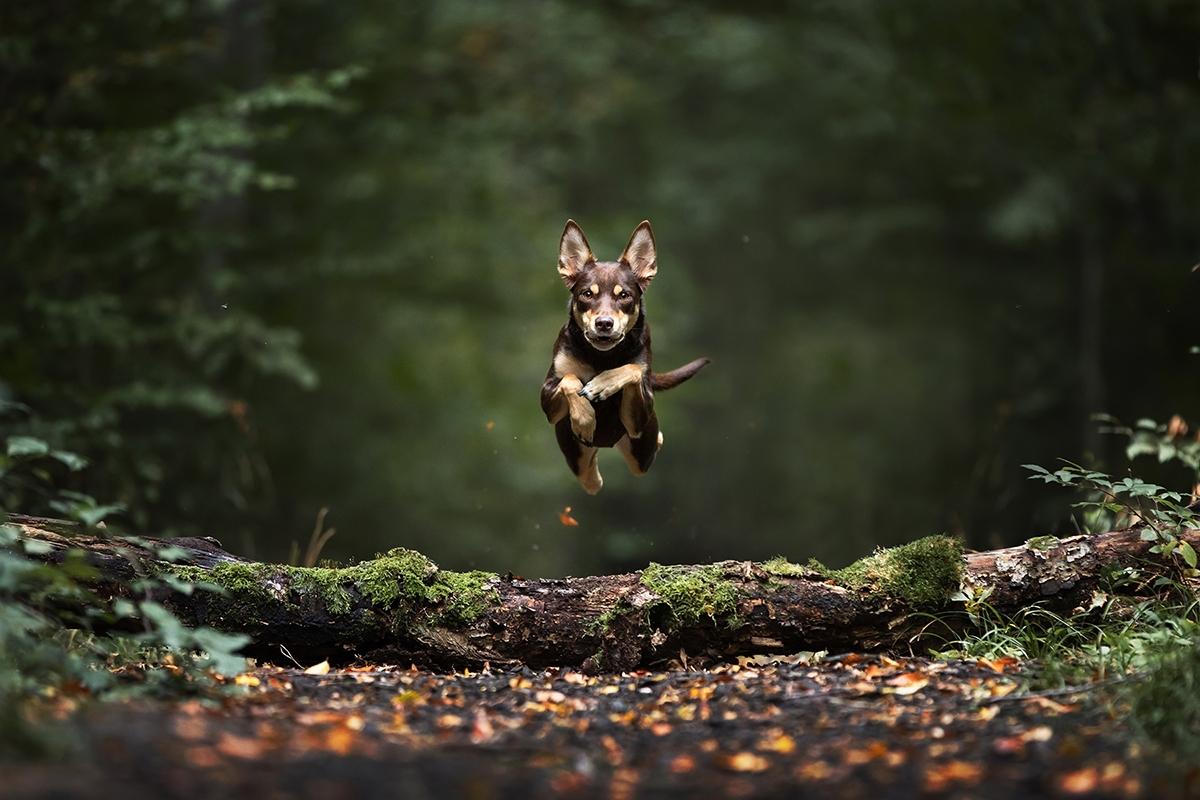 Hund springt über Baumstamm im grünen Wald