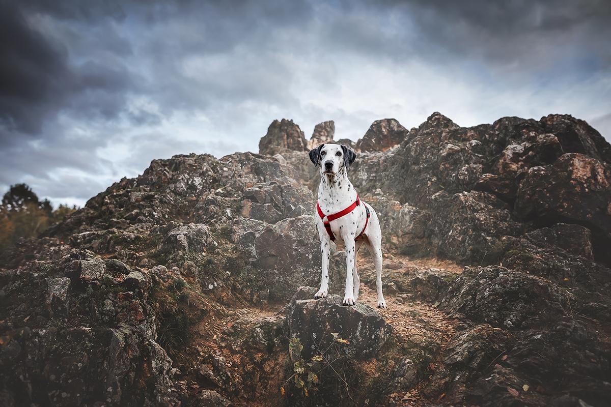 Dalmatiner steht stolz auf Klippen