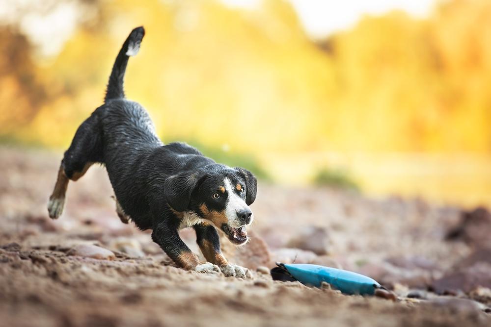 Entlebucher Sennenhund sucht Futterbeutel am Strand