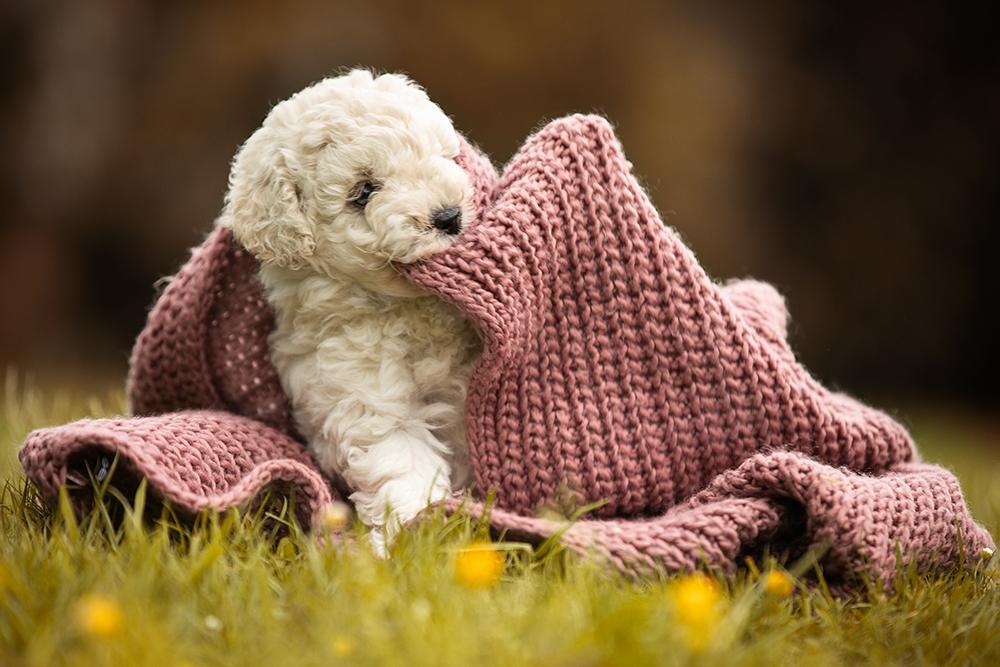 Welpe spielt mit einem Schal