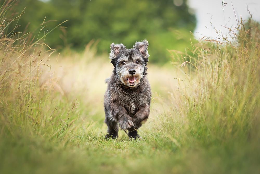 Kleiner Hund rennt über die Wiese