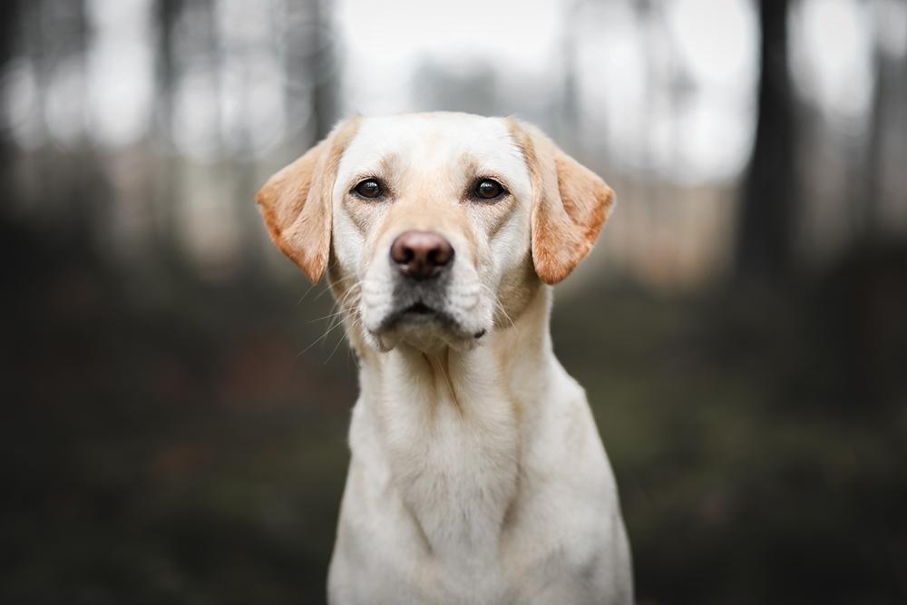 Portrait Labrador im Wald