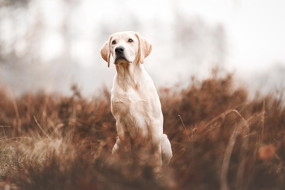 Gelber Labrador sitzt in der Heide