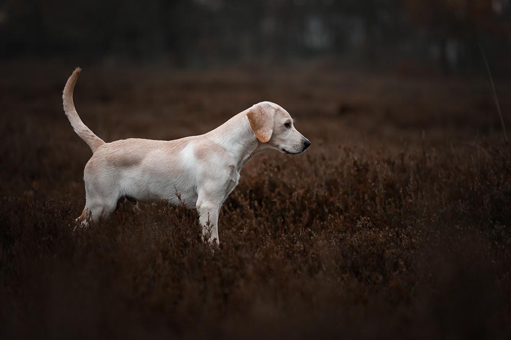 Gelber Labrador steht in der Heide