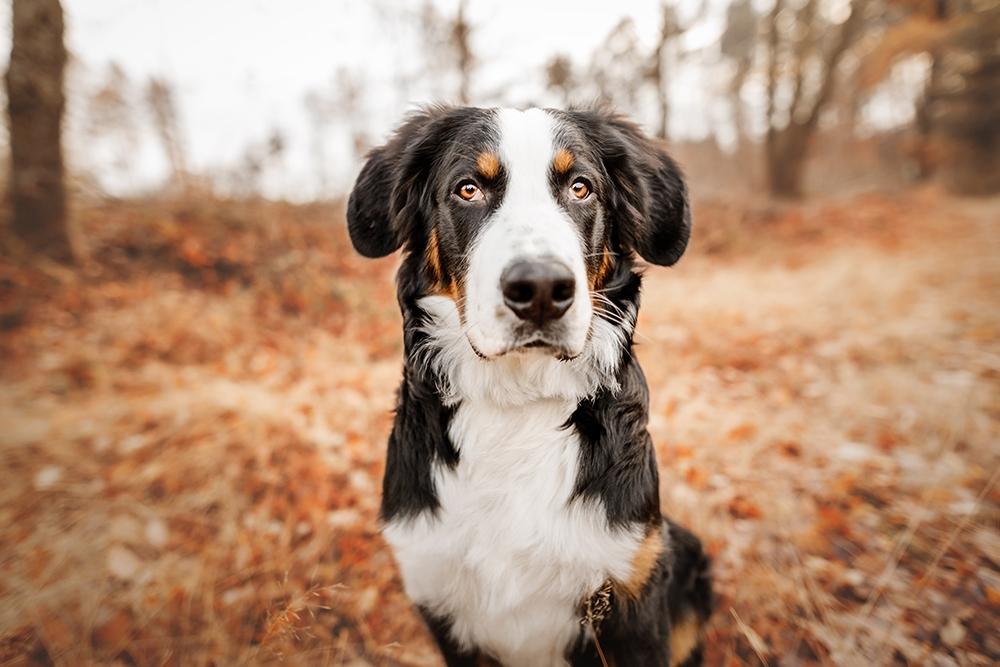 Nahaufnahme Berner Sennenhund in der Heide